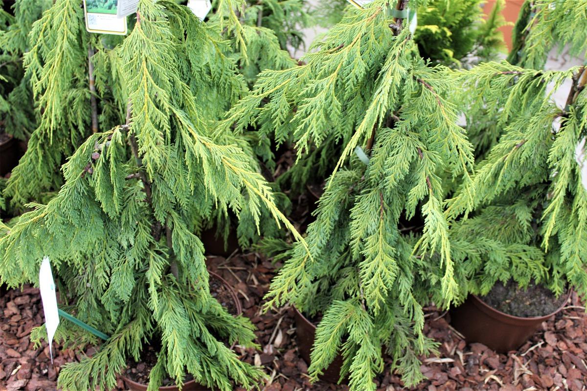 hänge-alaskazypresse