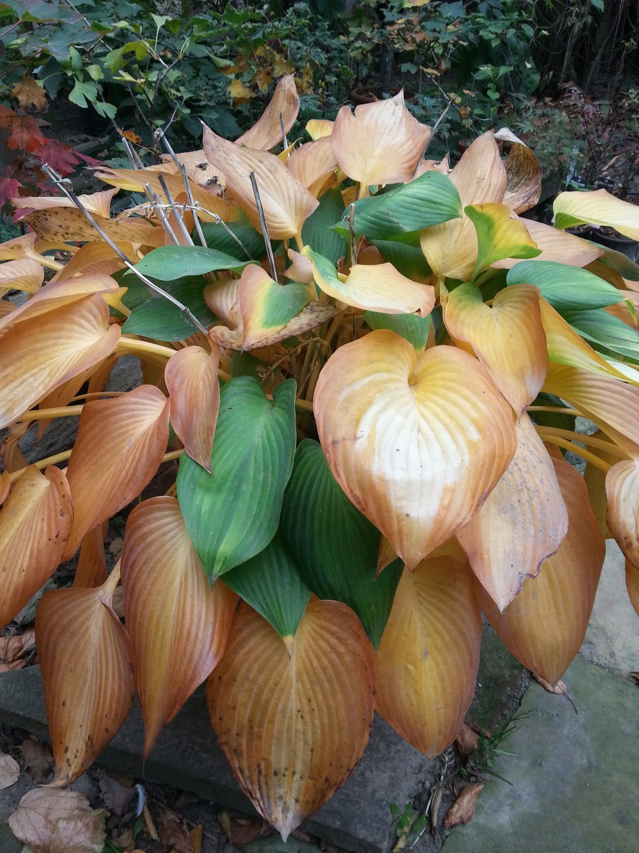 Hosta x tardiana June Lubera