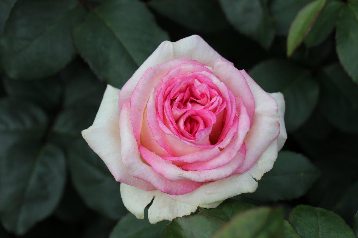 Rose Baden Baden