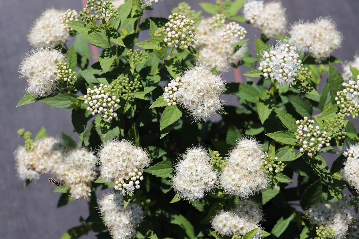 """Spiraea japonica /"""" Albiflora /"""" weiß 20-30 cm"""