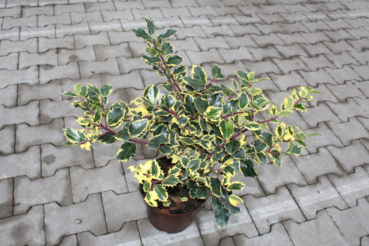 Gelbbunte Stechpalme Rubricaulis Aurea Luberaat