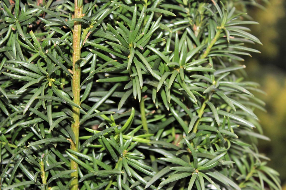 schlanke Säuleneibe 70//80cm Taxus Fastigiata robusta