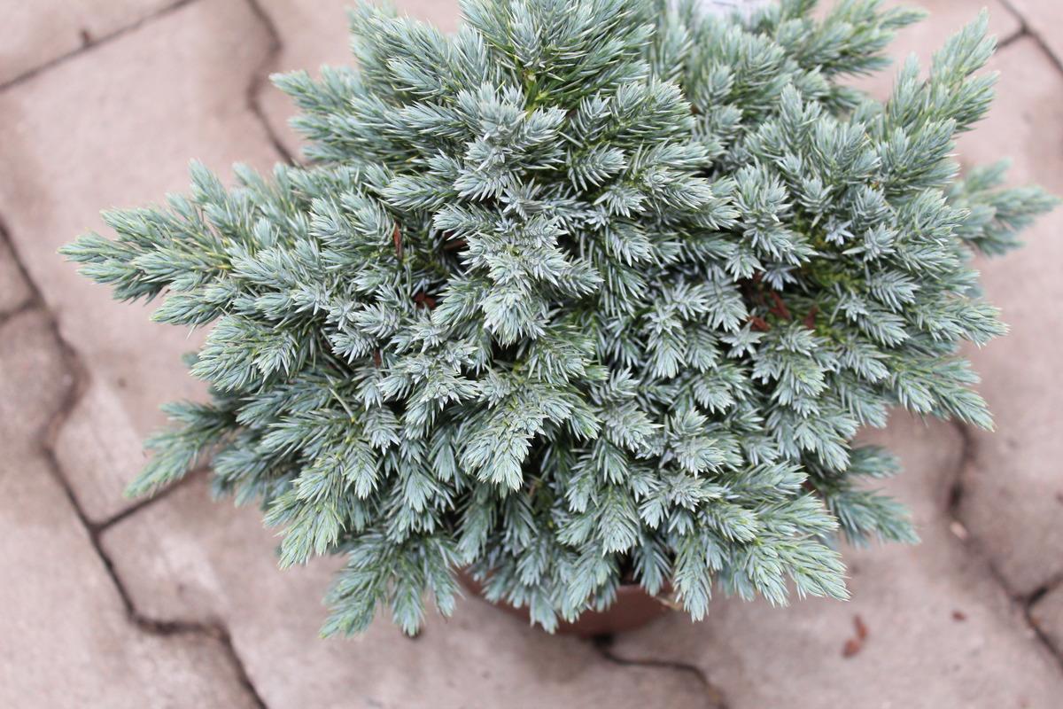 Zwergwacholder Juniperus squamata /'Blue Star/'  20-25 cm im 2 Liter Container