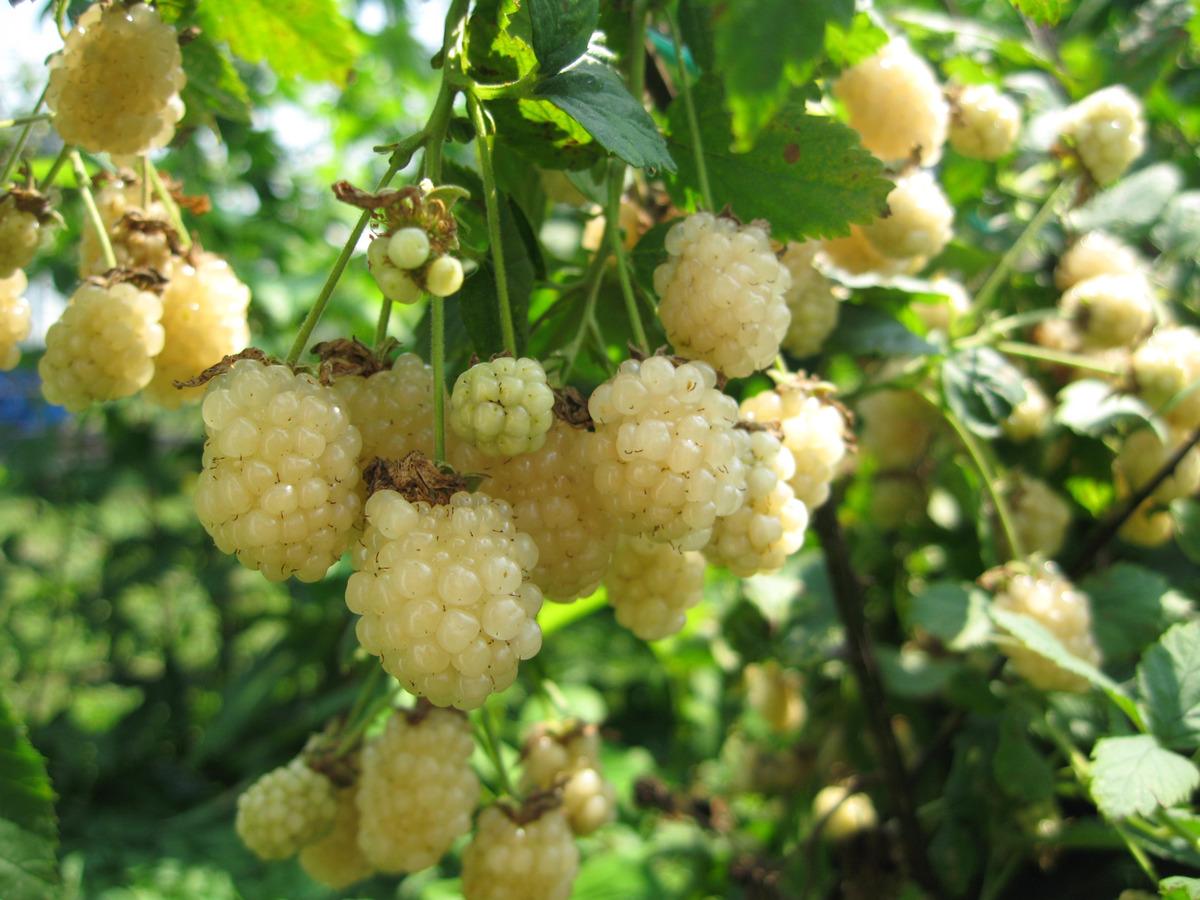 Außergewöhnlich Weisse Brombeere Polarberry®: Lubera.at #YB_04