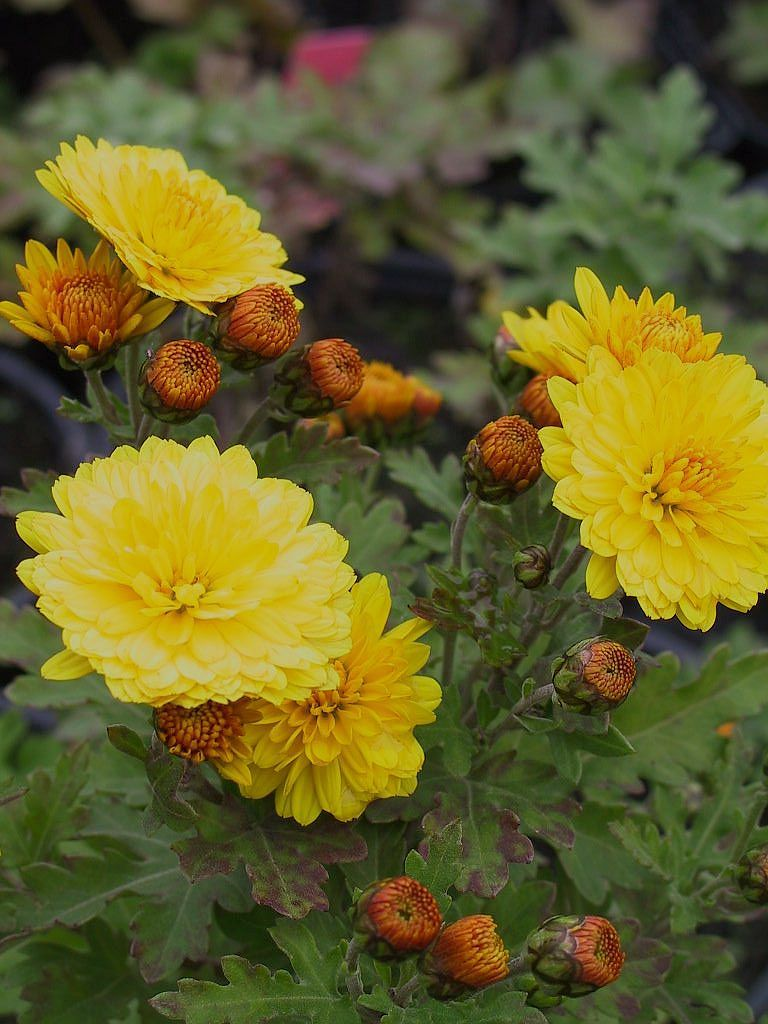 Chrysanthemen Bienchen Lubera
