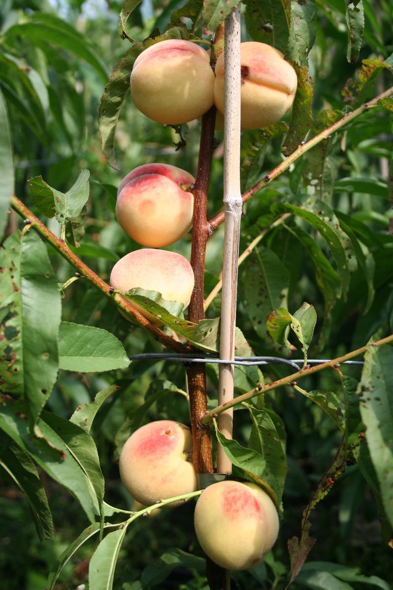 Prunus persica Melred: Zierpfirsich Melred im Online Shop kaufen