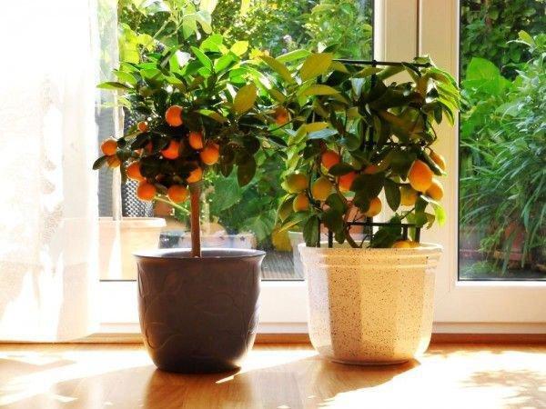 orangenbäumchen verliert blätter