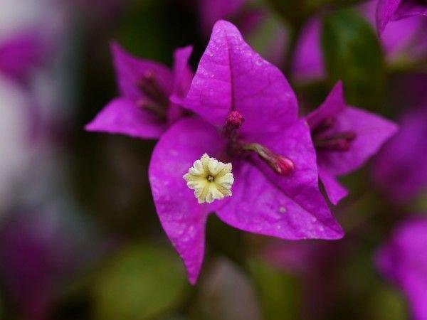 Bougainvillea Düngen - Leuchtende Blüten Bis Zum Herbst Exotische Pflanzen Garten Bougainvillea Drillingsblume