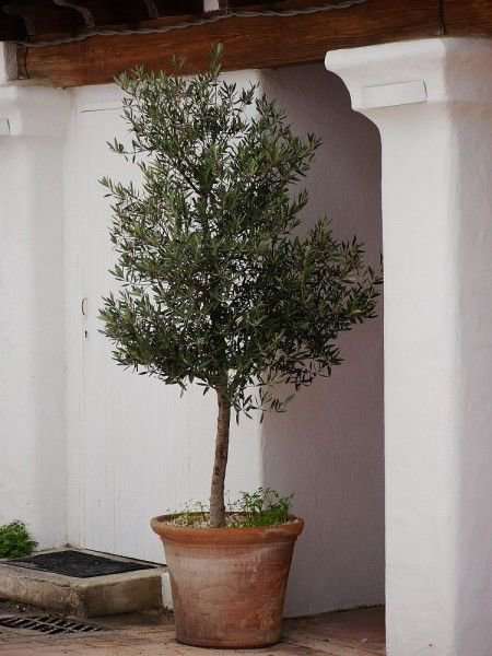 einen olivenbaum umtopfen so machen sie es richtig. Black Bedroom Furniture Sets. Home Design Ideas