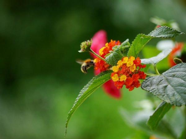 Wandelröschen schneiden und vermehren