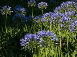 Agapanthus African Lily Lubera