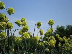 Zierlauch kaufen Allium Zwiebelblumen Lubera