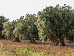 Favorit Die richtige Olivenbaum Erde - Grundlage für tolle Oliven GG25