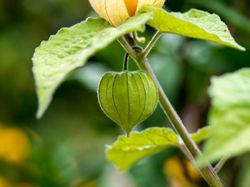 Cape gooseberry Physalis Lubera
