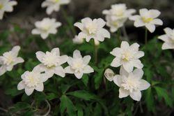 Blumenzwiebeln mit gefüllten Blüten Buschwindröschen Vestal Lubera