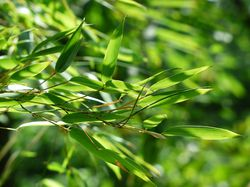 Bamboo for containers from LUBERA