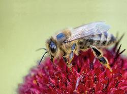 Bienenfreundliche Sträucher kaufen
