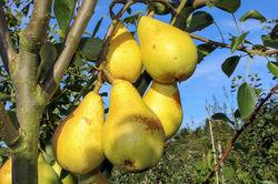 Pear tree at Lubera