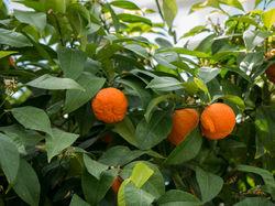 Bitter orange Lubera
