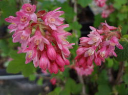 Flowering currant Lubera