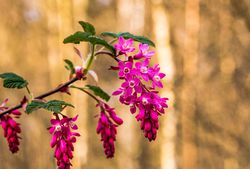 Flowering currant Pixabay