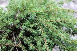 Buy ground cover conifers at Lubera
