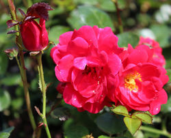 Buy ground cover roses at Lubera