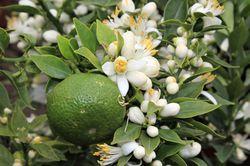 Citrus specialities Lubera