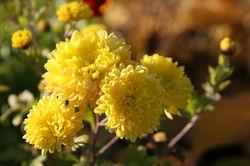 Chrysanthemum Lubera
