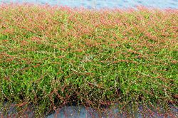Cranberry plants Red Balloon Lubera