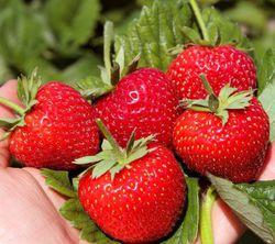 Dauertragende Erdbeeren Im Lubera Gartenshop