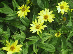 Helianthus microcephalus lemon queen Lubera