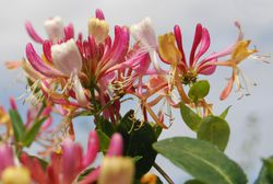 Buy fragrant climbing plants from Lubera
