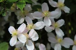 Buy fragrant climbing plants at Lubera