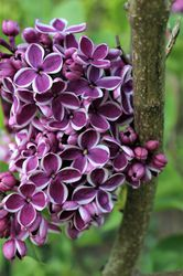 Common lilac at Lubera