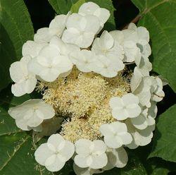 Oakleaf hydrangea from Lubera