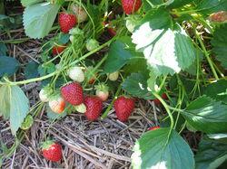 June-bearing strawberry plant Malvina Lubera