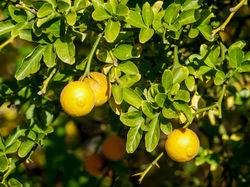 Hardy citrus plants Lubera