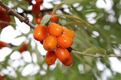 Sea Buckthorn Lubera