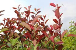 Glanzmispel-Hecke Lubera Dunkelrote Blätter der Photinia