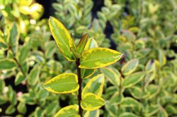 Privet Hedge Plants
