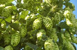Hops plant Lubera