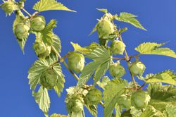 Buy a hop plant from Lubera