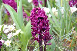 Hyacinth (Hyacinthus) Woodstock Lubera