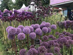 Allium Bulbs Lubera