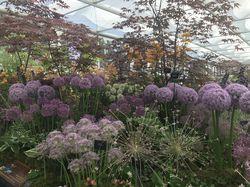 Allium Bulb Lubera