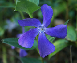 Buy periwinkle at the Lubera Garden Shop