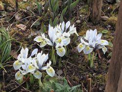 Iris reticulata Katharine Hodgkin Lubera