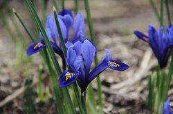 Iris reticulata Harmony Lubera