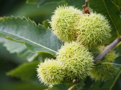 Chestnut trees from Lubera